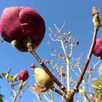Magnolia at Art Park Kerikeri
