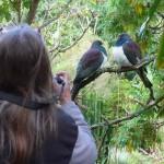 woodpigeon wharepuke artpark